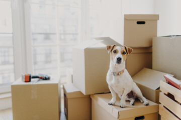 Horizontal shot of domestic animal sits on stack of carton boxes, relocates in new abode, poses in spacious empty room with no furniture, white walls. Animals, real estate and relocation concept