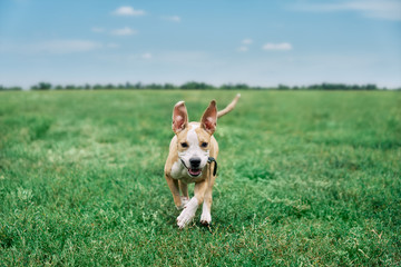 Adorable happy puppy running on green summer field