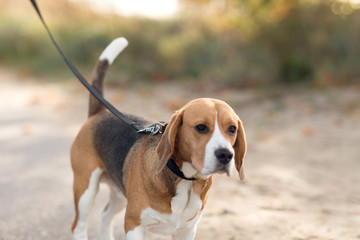 pets and animals concept - close up of beagle dog on leash walking outdoors