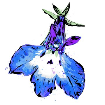 Anthophyta 061a - Hand painted lobelia flower illustration.  Blue, purple and pale green watercolour, with black ink on a white background.