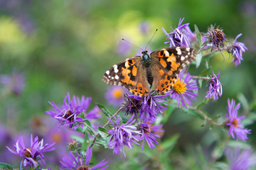 Painted Lady Butetrfly Perched on Flower