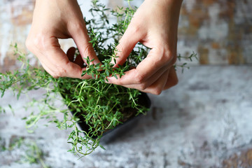 Selective focus. Women's hands are holding the branch of thyme in a pot. Fragrant herbs grow in a pot. Macro.