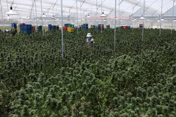 An employee of Clever Leaves company walks through a cannabis greenhouse in Pesca