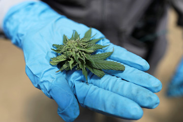 An employee of the Clever Leaves company shows a cannabis flower at a greenhouse in Pesca