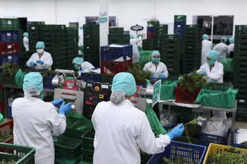 Employees of Clever Leaves company prepare cannabis plants for processing, at a production plant in Pesca