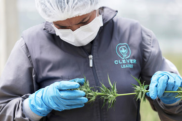 An employee of the Clever Leaves company checks a cannabis plant at a greenhouse in Pesca