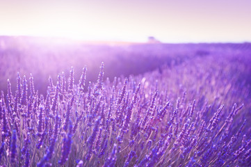 Fotobehang Purper Blooming lavender fields at sunset in Provence, France. Beautiful summer nature background
