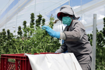 An employee of Clever Leaves company cuts cannabis plants at a greenhouse in Pesca