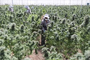 Employees of Clever Leaves company work inside a cannabis plantation, at a greenhouse in Pesca