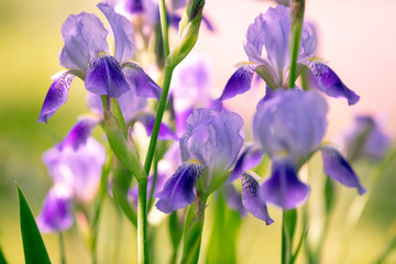 Fond de hotte en verre imprimé Iris Blossoming iris flowers in the garden at sunset light. Nature background