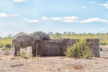 African elephant bull drinking water from a concrete reservoir