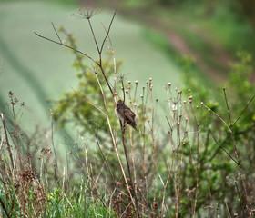Młode  podloty Szpaka  zwyczajny (Sturnus vulgaris) ukrywają się wśród traw