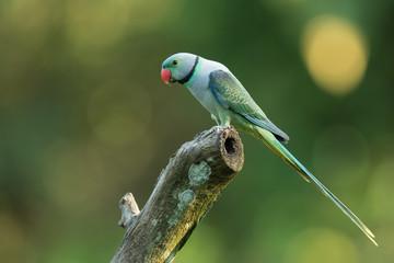 Malabar Parakeet from Thattekad Kerala India