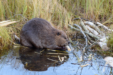 A very large castor  canadensis chewing on popular branch on. The edge of the beaver pond