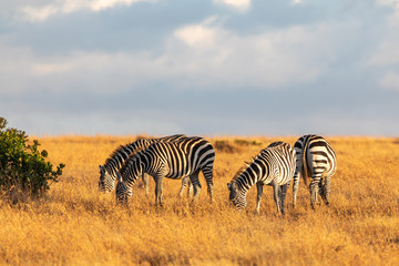 Fotobehang Zebra A Herd of Grevy's Zebras Grazing on Golden Grasses, Ol Pejeta Conservancy, Kenya, Africa