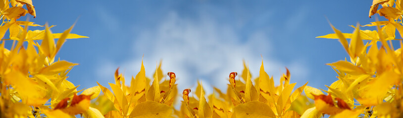 Yellow fall leaves horizontal background, close up with blue sky in the background, macro banner