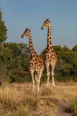 Male and Female Rothschild's giraffe Couple, Ol Pejeta Conservancy, Kenya, Africa