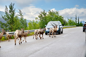 Mount Goat herd on a paved road in Jasper National Park, Alberta, Canada.