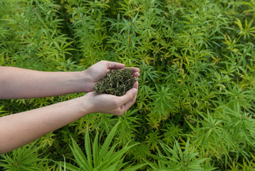 Female hands holding dry hemp in a hemp plantation