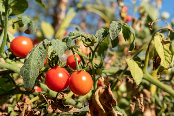 Organic red cherry tomatoes on a vine growing in the garden under the summer sun. Grow your own vegetables and autumn harvest concept. Eco friendly sustainable gardening.