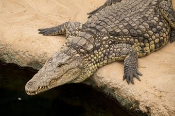 Printed roller blinds Tiger alligator relaxing on riverside
