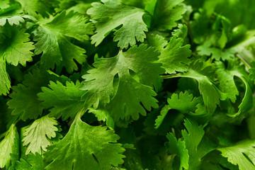 Fresh  green cilantro close-up, food background.