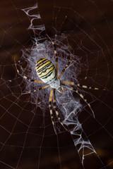 Argiope tygrzyk paskowany pająk sieć - fototapety na wymiar