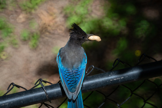 A Steller's Jay holding a peanut in it's mouth, resting on a black fence.