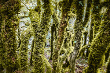 beautiful old trees, trunks covered with moss, in wild forest