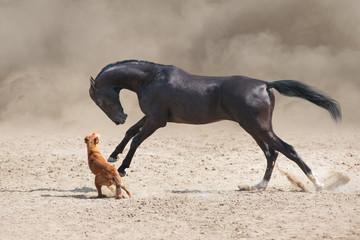Wall Mural - Akhal teke Horse run with dog in desert dust