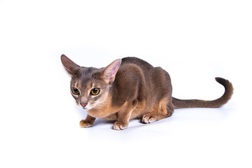 Young blue abyssinian cat isolated on white background