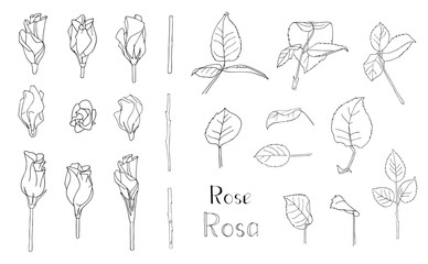 Vector illustration. Big set of hand drawn floral elements isolated on white background. Rose leaves and flowers. Clip art for romantic design. Lettering