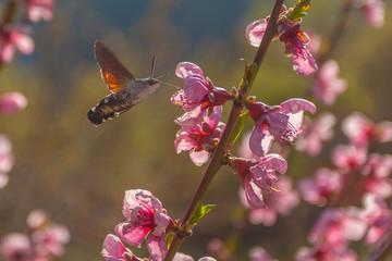 Close up of Macroglossum stellatarum know as sphinx hummingbird