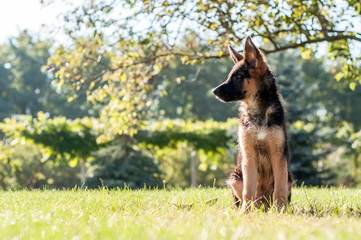 A german shepherd puppy sitting on the grass of a backyard