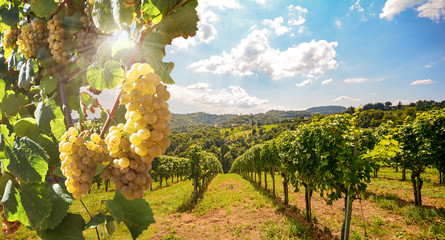 Photo sur Toile Vignoble Vineyards with grapevine and winery along wine road in the evening sun, Europe