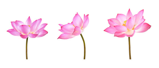 Foto op Plexiglas Lotusbloem Lotus flower isolated on white background.