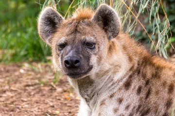 Acrylic Prints Hyena close up portrait of a hyena