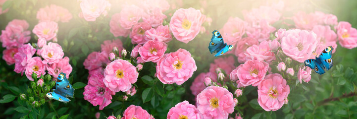Wall Mural - Mysterious spring floral banner with blooming rose flowers and flying two butterflies peacock eye in morning fog and haze in soft pastel colors