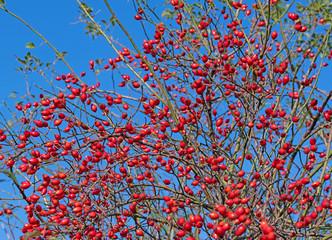 Rote Hagebutten vor blauem Himmel