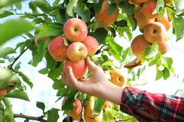 Fototapeta Woman picking ripe apple from tree outdoors, closeup obraz