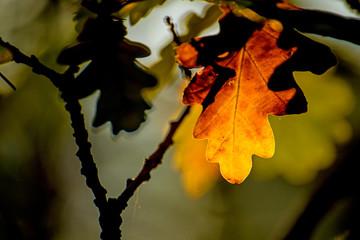 autumnal colored oak leaf in back light