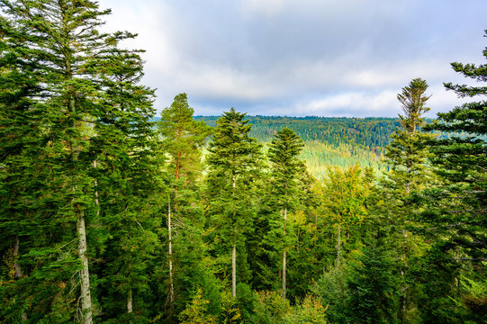 Black Forest at Bald Wildbad - beautiful colors of trees in forest in autumn - Travel destination in Germany