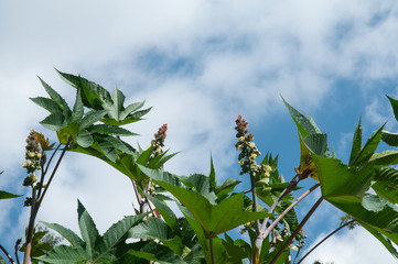 leaves and inflorescences of a castor bean