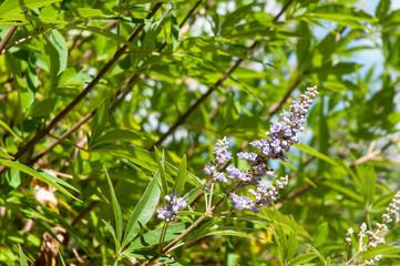 detail of a flowering shrub of vitex agnus-castus