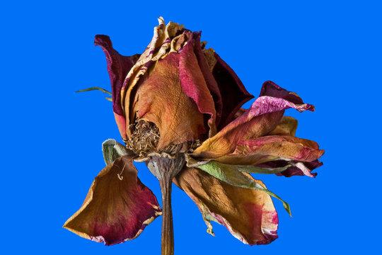 fleur fanée : rose