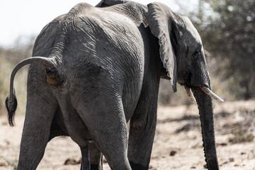 Éléphants au parc national d'etosha en Namibie, Afrique