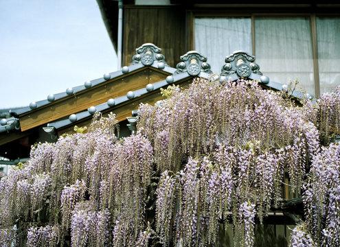 日本家屋と藤の花