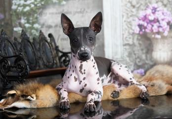 Dog American Hairless Terrier