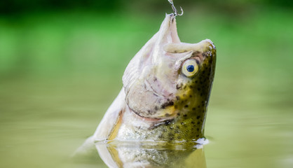 Stores à enrouleur Peche Fish in trap close up. fishing equipment. Bait spoon line fishing accessories. Victim of poaching. Save nature. On hook. Silence concept. Fish trout caught in freshwater. Fish open mouth hang on hook