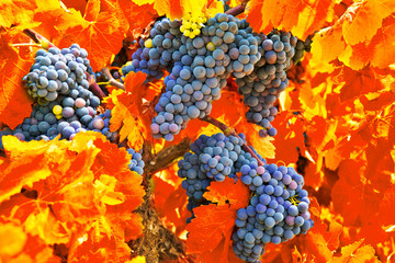 Garden Poster Vineyard Bunch of grapes with red leaves in autumn. Autumn vineyard
